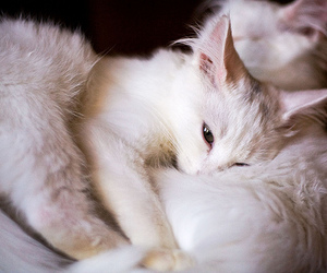 cats, white, and cute image