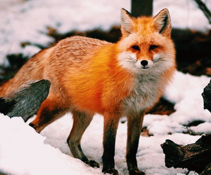 beauty, fox, and snow image