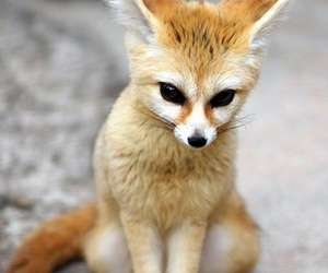 animal, fox, and fennec image