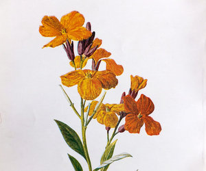 wallflower, vintage print, and flower picture image
