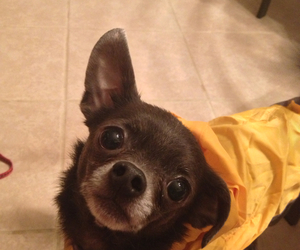 adorable, puppy, and yellow image
