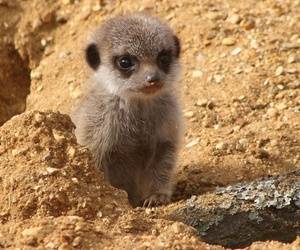 animals, meerkat, and photography image