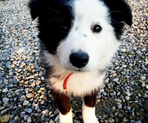 beautiful, border collie, and dog image