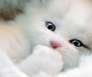 adorable, white cat, and animals image