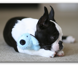cute, boston terrier, and doggy image