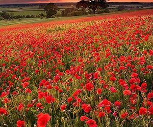 flowers, poppy, and sunset image