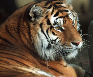 beautiful, roar, and photography image