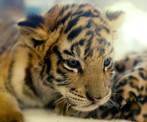 animals, cubs, and tigers image