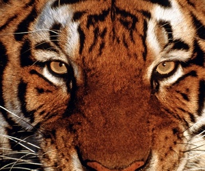 eyes, love, and tiger image