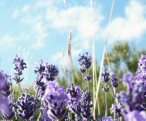 countryside, flowers, and lavender image