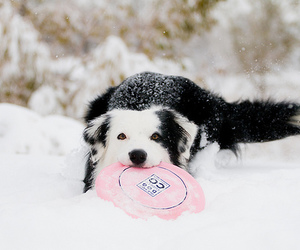 border collie and dog image