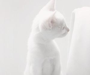 cat, white cat, and kitten image
