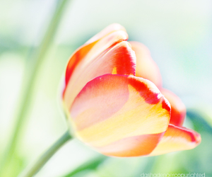 flower and tulip image
