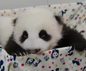 panda and baby image