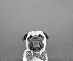 b&w, dog, and pug image