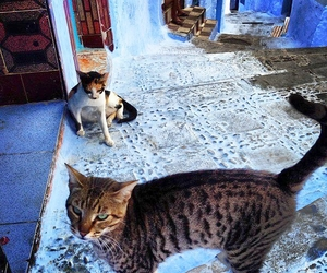 animals, blue, and cats image