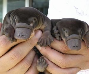 Platypus, animal, and baby image