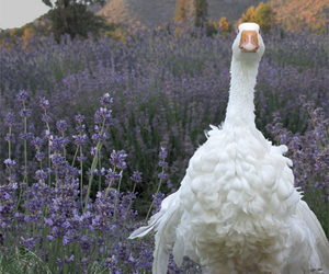 goose and lavender image