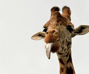 cannon, giraffe, and macro image