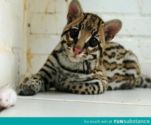 ocelot, animal, and awesome image