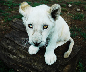 white, cute, and lion image