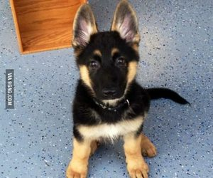 cute animals, puppy, and shepard image