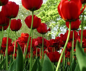 flower, plants, and tulip image
