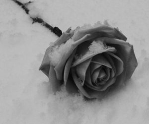 black & white and rose image