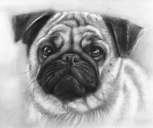 pug, drawing, and art image