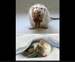 mouse, cute, and rat image
