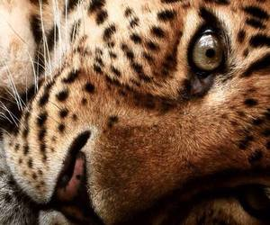 animal, leopard, and tiger image