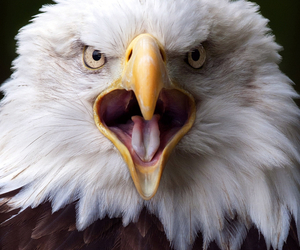 angry and eagle image