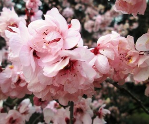 cherry tree, flores, and flowers image