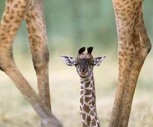 animal, giraffe, and cute image