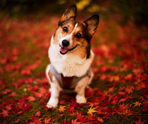 dog, leaves, and autumn image
