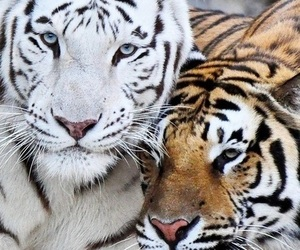white and tigers image
