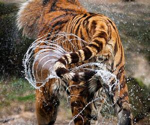 tiger and wet image