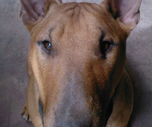 bull terrier, dog, and dogs image