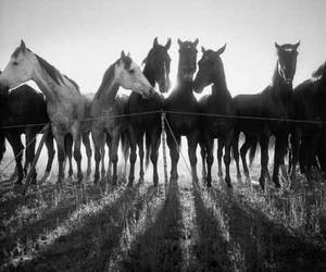 black and white and horses image