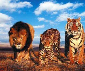 lion, tiger, and animal image