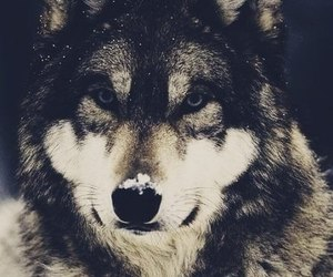 amazing, Dream, and wolf image