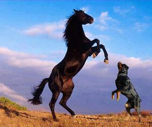 horse and rotweiler image