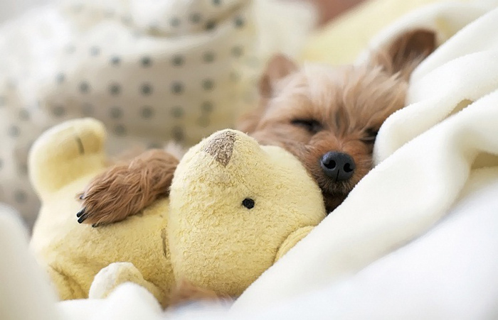 fluffy, dog, and teddy image