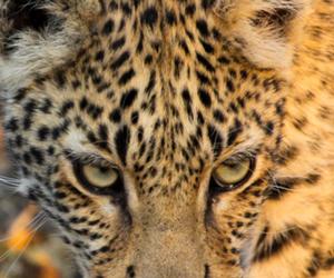beautiful, big cats, and cheetah image