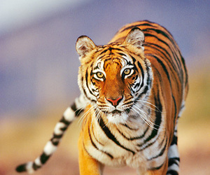 animal, beautiful, and tiger image