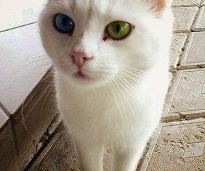 beautiful, eyes, and cat image