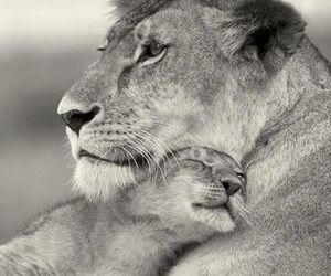 animal, mother, and lion image