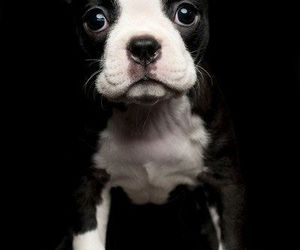 boston terrier and puppies image