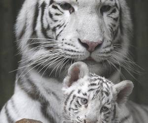 beautiful, animals, and tiger image