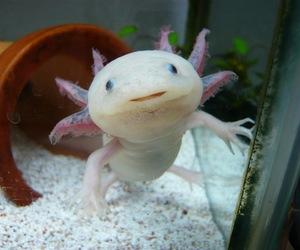 animals, axolotl, and creature image